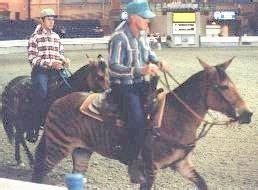 zebra stallion chapman zebra stallion