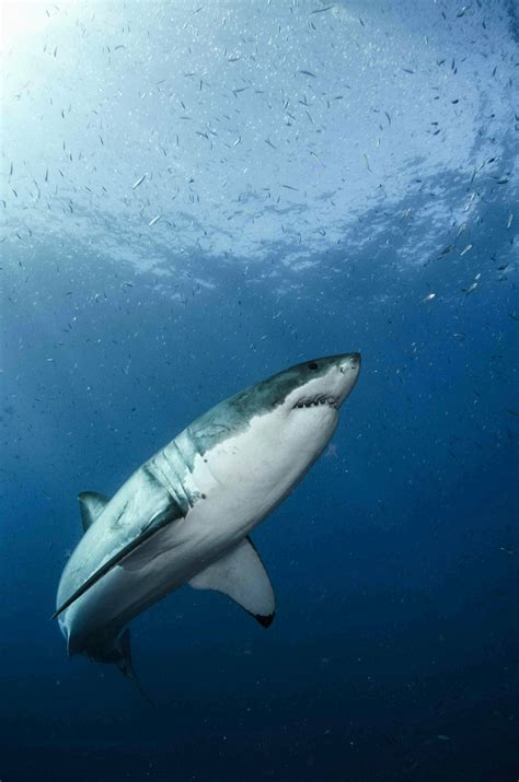 Great white shark genome decoded