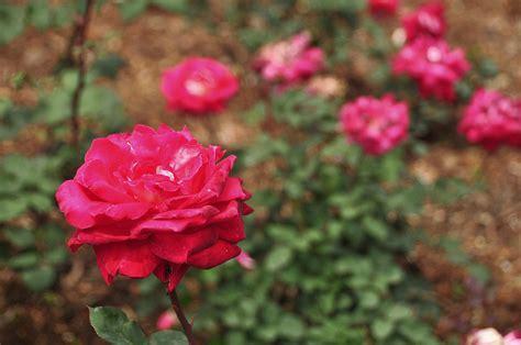most fragrant roses australia rosa firefighter wikimedia commons