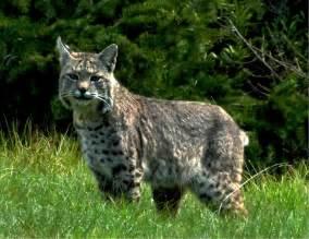 bob cat mendonoma sightings a beautiful bobcat as photographed
