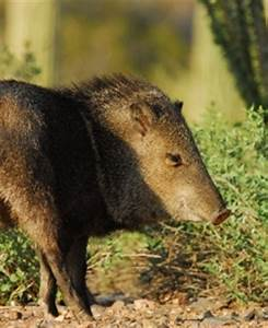 Dog May Have Caused Javelina to Attack Elderly Woman in ...