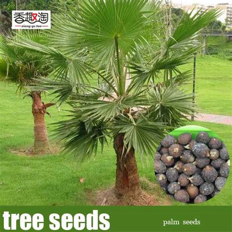 palm tree seeds 20pcs outdoor perennial plant palm tree seeds tropical ornamental tree seed in bonsai from home