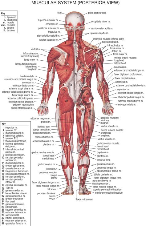 I just got back from vegas, which was a lot of fun. Female Anatomy Diagram Organs Female Back Muscle Anatomy Human Back Diagram Organs Anatomie ...