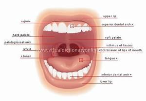 Oral Cavity  U0026 Teeth Flashcards By Proprofs