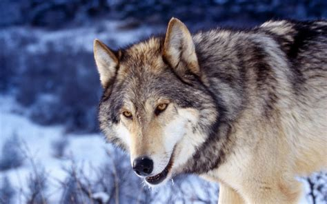 Grey Animal Wallpaper - hd wolf photos hd wallpapers hd animal wallpapers