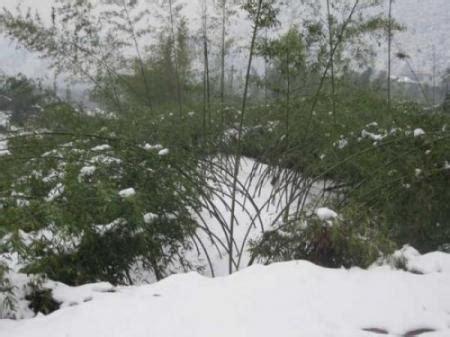 bambus im winter winterschutz f 252 r bambus