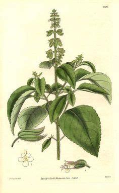 basil botanical illustration google search plantz
