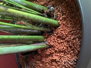 Kentia Palme Braune Blätter : goldfruchtpalme krank was tun seite 1 palmen ~ Watch28wear.com Haus und Dekorationen