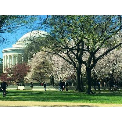 Spring unfurls in Washington DC at the National Cherry