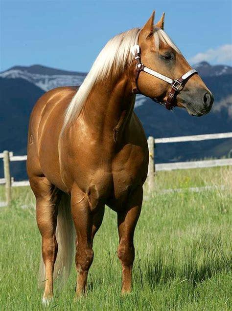 horse palomino quarter horses golden aqha american stallion dually pretty appaloosa caballos dark pep dual fine 1999 stallions qh cutting