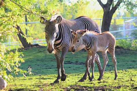 artiodactyl, Cubs, Zebras, Two, Animals, Wallpapers Wallpapers HD / Desktop and Mobile Backgrounds