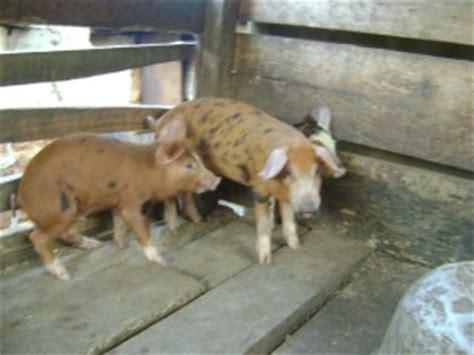 allevamento animali da cortile 2014 progetto efok obala vilse volontariato