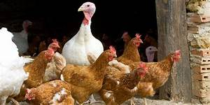 Bird Flu  Avian Flu