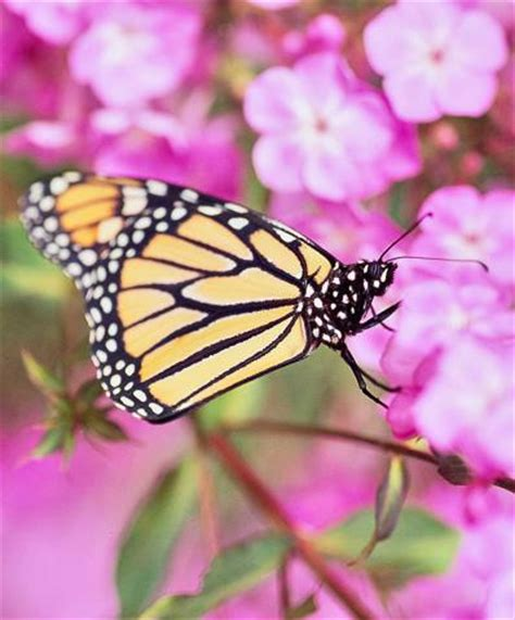 attract butterflies   yard midwest living
