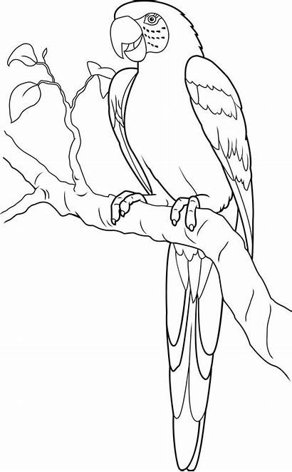 Macaw Animals Rainforest Coloring Pages Parrot Google