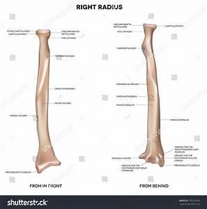 Radius  Human Right Radius  Bone  Detailed Medical