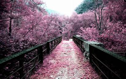 Cherry Blossom Blossoms Background Wallpapers Bridge Wallpapersafari