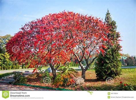 baum mit herzblättern enormer baum mit roten bl 228 ttern birken mit orange bl 228 ttern stockfoto bild frisch gro 223