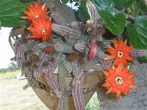 Cactus in form of fingers with bright orange flowers
