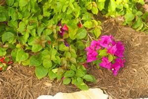 Dwarf Evergreen Flowering Shrubs