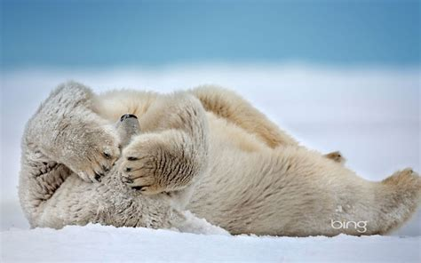 Animals In Snow Wallpaper - nature snow animals depth of field polar bears wallpaper