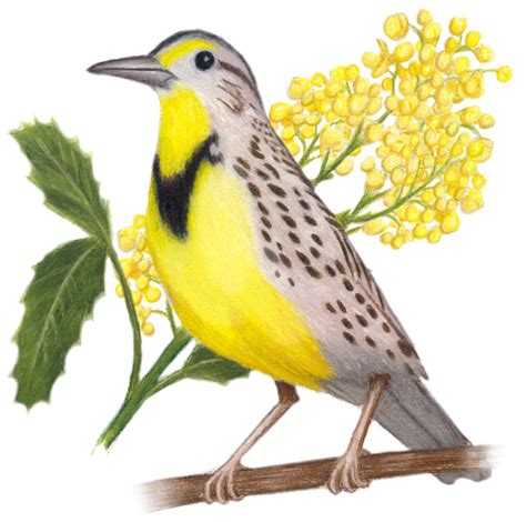 oregon state bird and flower western meadowlark