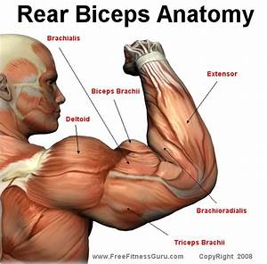 How To Loss Weight And Get In Shape  Workouts  Bicep Anatomy
