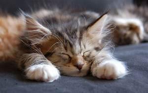 Sleeping, Maine, Coon, Cat, Wallpaper