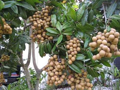 Can We Grow Longan Fruit Tree In Central Florida? You Must