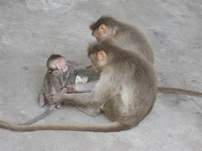 Monkeys Indian Monkey Wild Before Monky Janet
