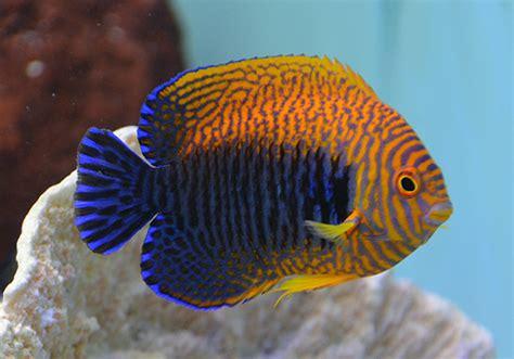 Something Fishy :: Aquarium Livestock :: Fish :: Potters Angel