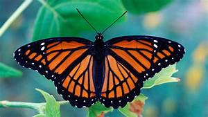 Tasty Butterflies Turn Sour Without Toxic Wingmen