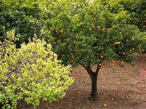 Feigenbaum Im Garten : orangensorten von orangen blutorangen und apfelsinen zitruspflanzen im mediterranen garten ~ Orissabook.com Haus und Dekorationen