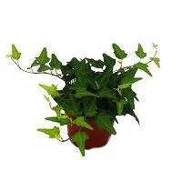 Efeu Als Zimmerpflanze : efeu hedera 9cm topf zimmerpflanze exotenherz ~ Indierocktalk.com Haus und Dekorationen