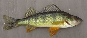 """""""Eradication of High Risk Invasives in the Thompson ...  Perch"""