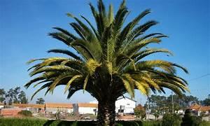 Phoenix Canariensis Entretien : winterbest ndige palmen groupon goods ~ Melissatoandfro.com Idées de Décoration