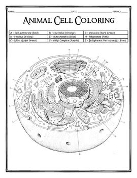 Animal Cell Coloring Key by Animal Cell Coloring By Dustin Hastings Teachers Pay