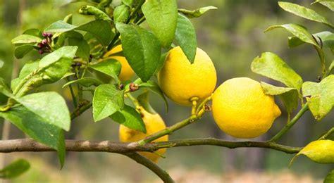 idee sol cuisine citronnier plantation entretien et récolte