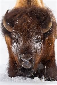 Bison Snow Photography