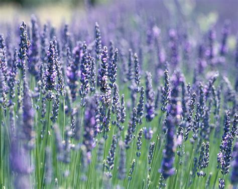 lavender plant five plants for magnificent landscaping in san diego papitto properties