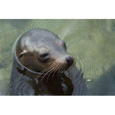 Galápagos Sea Lion (a.k.a. Galãƒâ¡Pagos )