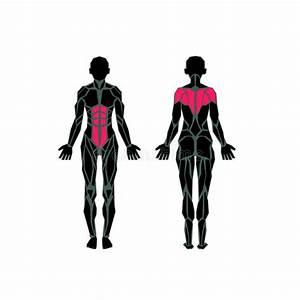 Polygonal Anatomy Of Female Muscular System Stock Vector