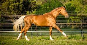 palomino - British Warmblood stallion Treliver D'Artagnan ...