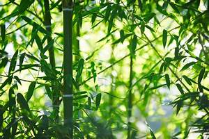 Bambus Vernichten Tipps : bambus fargesia pflegen gie en d ngen berwintern und mehr ~ Whattoseeinmadrid.com Haus und Dekorationen