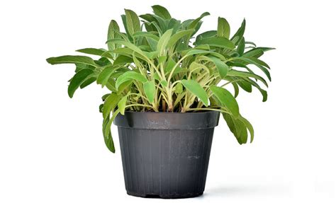 salvia in vaso pianta di salvia officinalis in vaso 14 cm savini vivai