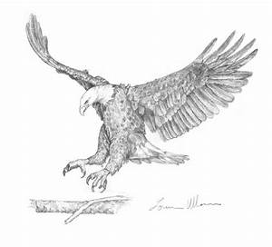 Eagle Landing Drawing by Loren Ullom