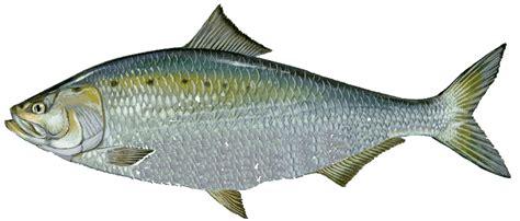 types  species  fish  massachusetts  mass bay