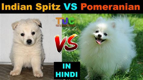 indian spitz  pomeranian dog  dog tuc