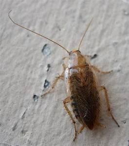 Insecte Qui Mange Le Bois : les frelons ou tal nes qui est le nom suisse du frelon ~ Farleysfitness.com Idées de Décoration