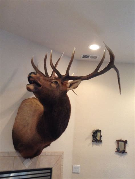 elk mount bugling perfect    sofa taxidermy